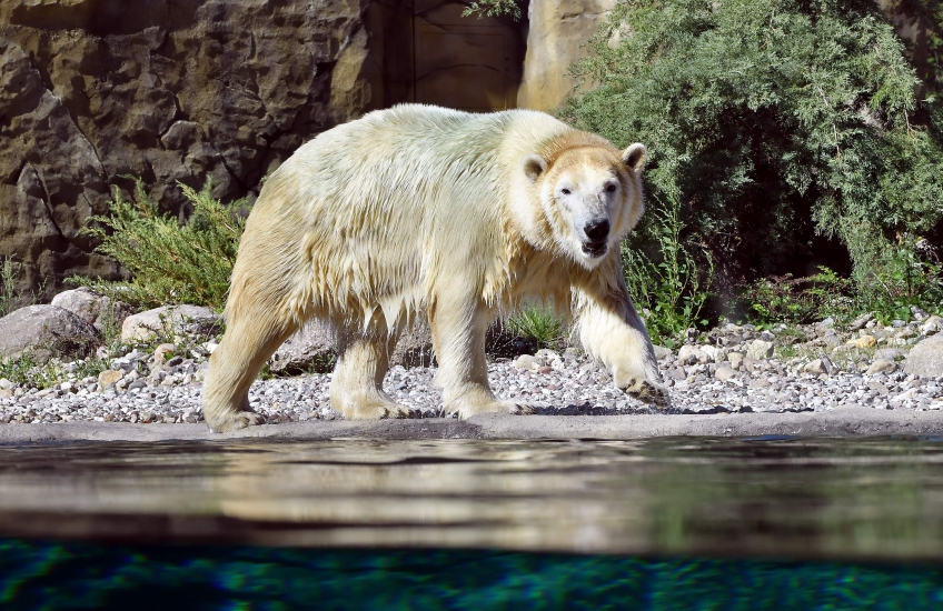 Eisbär Noria